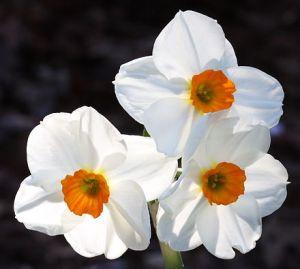 -Narcissus_Geranium